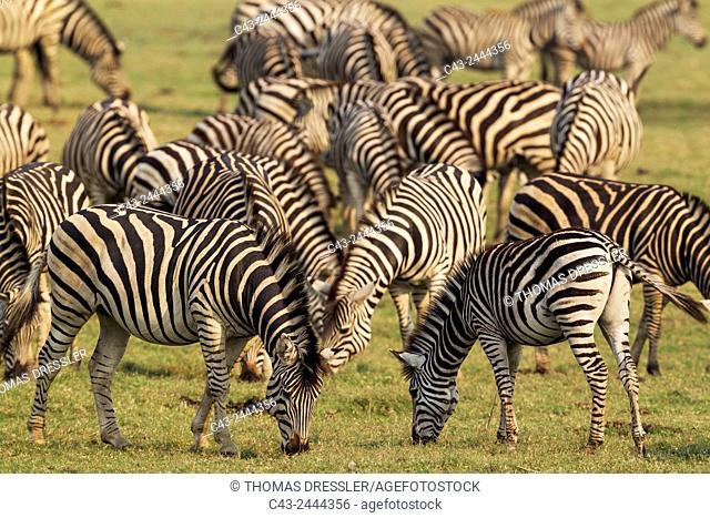 Burchell's Zebra (Equus quagga burchelli) - Feeding at the bank of the Chobe River. Chobe National Park, Botswana