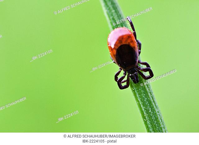 Castor Bean Tick (Ixodes ricinus), on a blade of grass