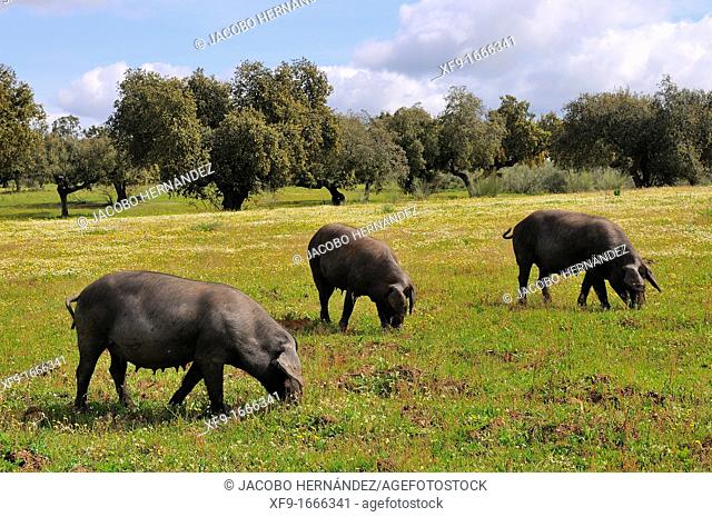 Iberian pigs on dehesa wooded meadow typical of southern Spain  Badajoz province  Extremadura  Spain