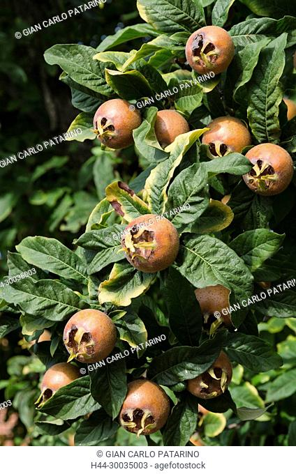 Italy, fruits of Piedmont Langhe-Roero and Monferrato on the World Heritage List UNESCO medlar or Mespilus germanica