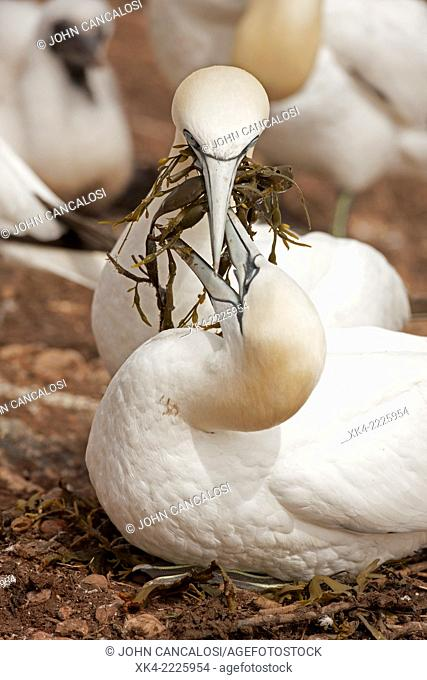 Northern gannets, male bringing nesting material to mate, Canada