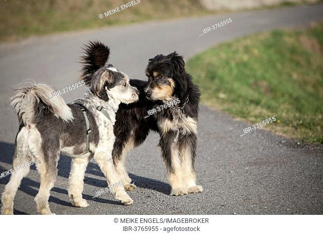 Two dogs sniffing each other, Sondrio province, Lombardy, Italy