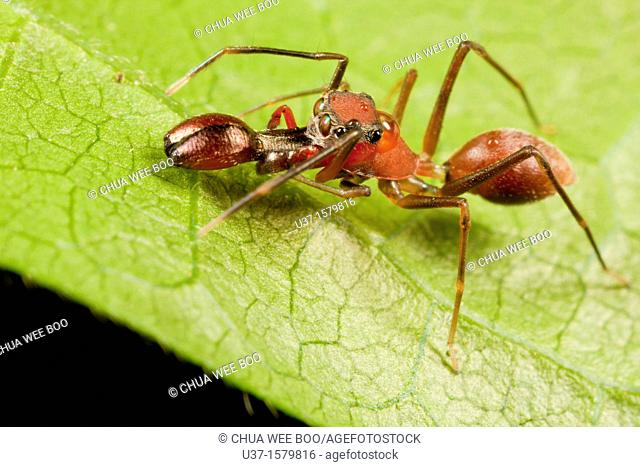 Male ant mimic spider