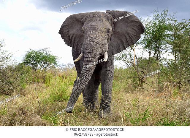 African elephant (Loxodonta africana) bull in threatening posture. Queen Elizabeth National Park, Uganda