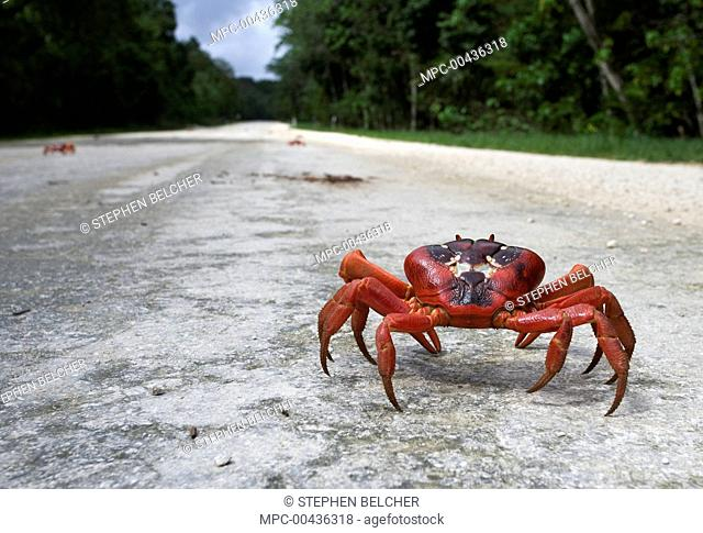 Christmas Island Red Crab (Gecarcoidea natalis) walking on a road, Christmas Island, Australia