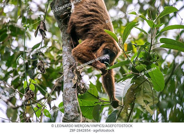 Brown howler monkey (Alouatta guariba), photographed in Santa Maria de Jetibá, Espírito Santo - Brazil. Atlantic forest Biome. Wild animal