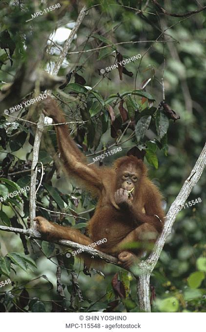 ORANGUTAN, (Pongo pygmaeus) FEEDING IN TREE, SEPILOK RESERVE, SABAH, BORNEO
