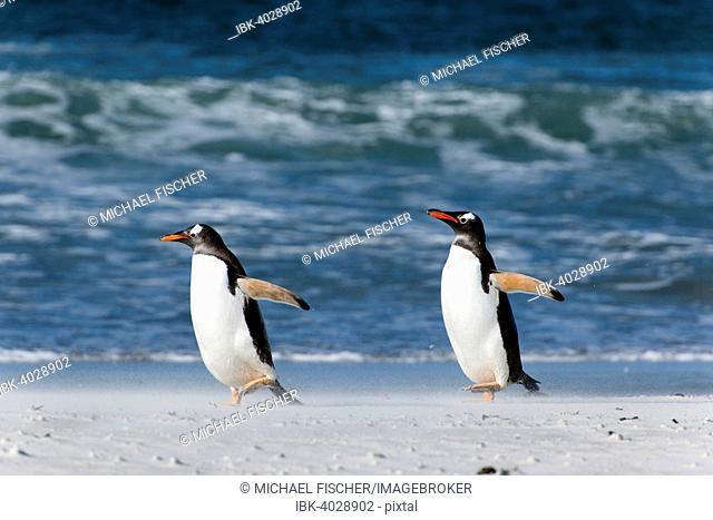 Gentoo penguins (Pygoscelis papua), Volunteer Point, East Falkland, Falkland Islands