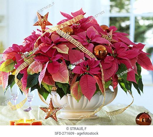Poinsettia, variety 'Cortez Hot Pink'