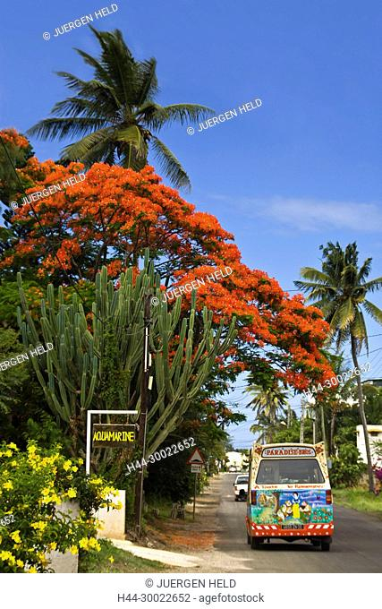Mauritius, Africa Flame Tree, Flamboyant, Royal Poincian in Troux aux Biches, Mauritius, Africa