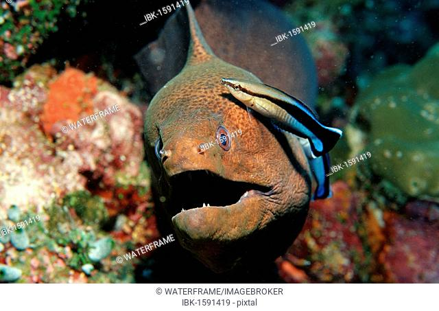 Bluestreak Cleaner Wrasse (Labroides dimidiatus) cleaning a Yellow-edged Moray (Gymnothorax flavimarginatus), Maldive Islands, Indian Ocean