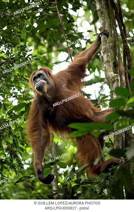 Sumatran Orangutan On The Tree In The Forest Of Bukit Lawang, Sumatra, Indonesia