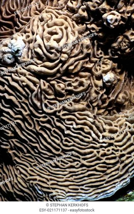 Close up of the texture and paterns of castle coral (pachyseris speciosa)