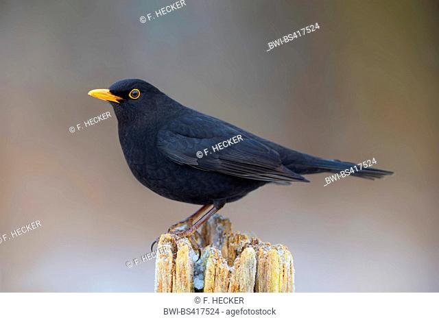blackbird (Turdus merula), male, Germany