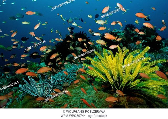 coral reef with anthias and feather stars, Pseudanthias sp., Alor, Indonesia