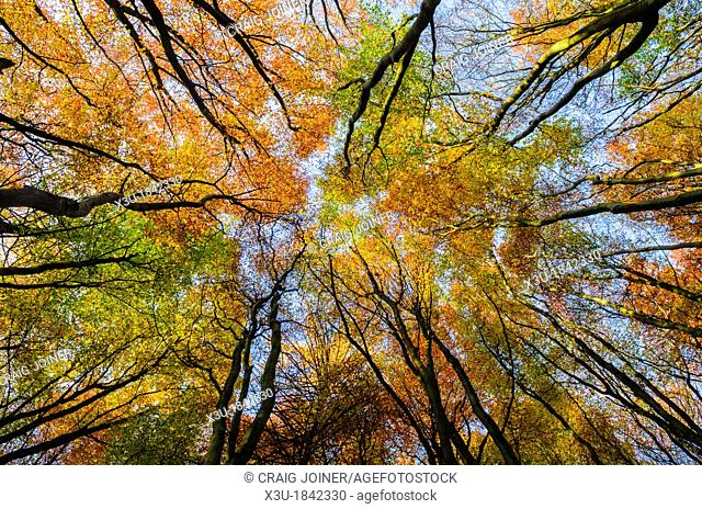 Beech Trees in a woodland displaying their autumn colour  Prior's Wood, Portbury, North Somerset, England