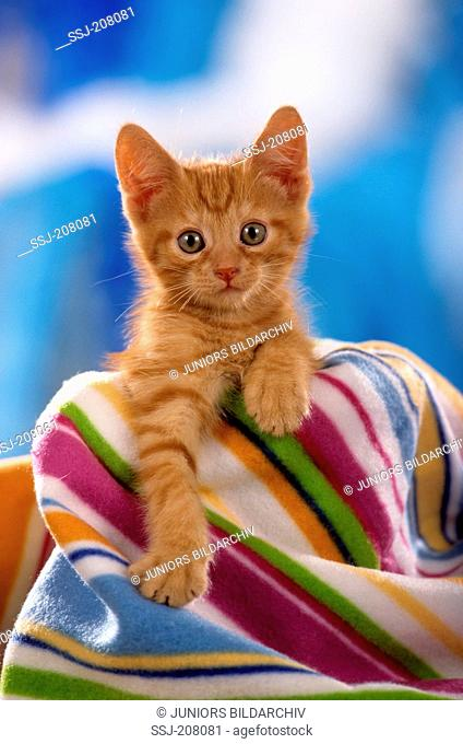 Domestic cat. Red tabby kitten sitting under a multicolored blanket. Studio picture. Germany
