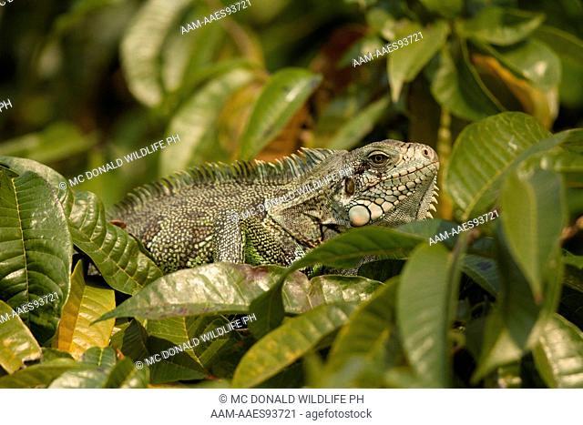 Green Tree Iguana, aka Green Iguana, Iguana iguana, Pantanal, Brazil, South America