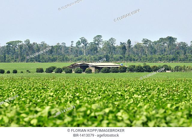 Remains of rainforest, farm and cultivation of soybeans, the main cause for the progressive destruction of the Amazon rainforest and the most important export...