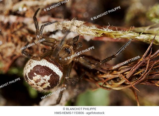 France, Araneae, Theridiidae, Noble false widow (Steatoda nobilis)