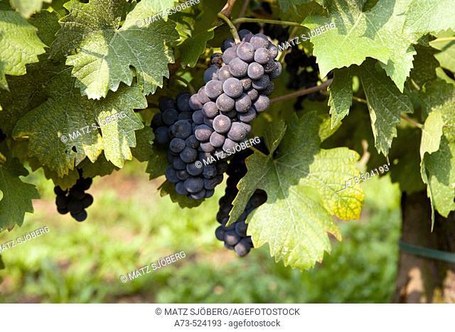 Contadi Castaldi wine producer. Pinot Noir grapes. Adro (Brescia), Lombardy, Italy
