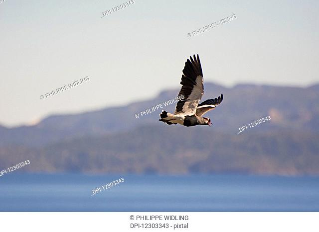 Bird flying over a mountain lake; Bariloche, Argentina