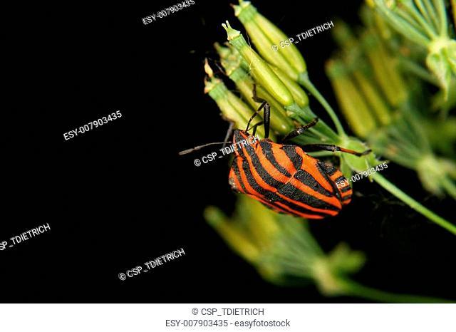 Strip bug (Graphosoma lineatum)