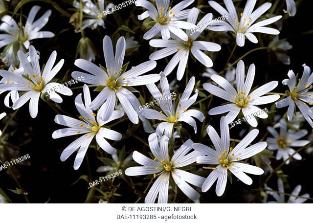 Addersmeat (Stellaria holostea), Caryophyllaceae