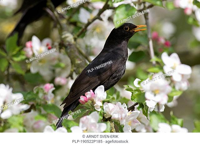 Eurasian blackbird / common blackbird (Turdus merula) male perched in flowering apple tree and singing in spring
