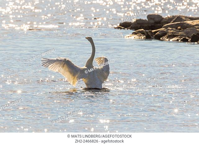 Whooper swan, Cygnus cygnus, standing up in the water and flapping his wings, bright sunshine making reflections in the water, Gällivare, Swedish Lapland