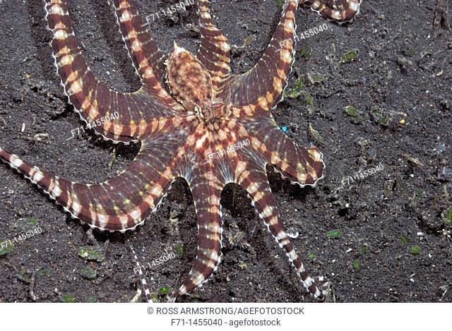 Mimic Octopus Thaumoctopus mimicus  Lembeh Strait, Celebes Sea, North Sulawesi, Indonesia