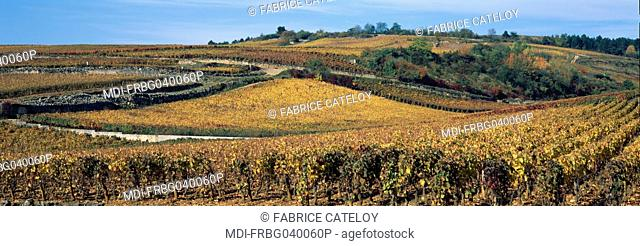 Vineyards in a gold color in autumn