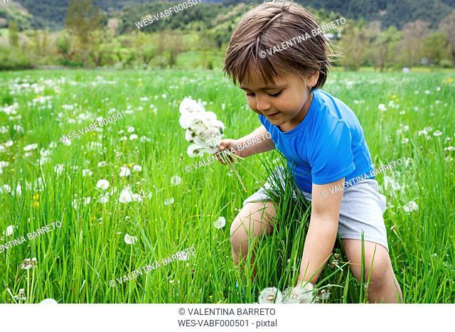 Little boy picking dandelions on meadow