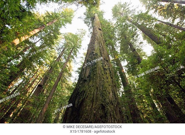 California Redwood Groves