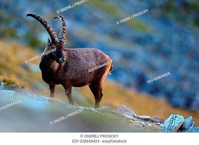 Antler Alpine Ibex, Capra ibex ibex, with grey rocks in background