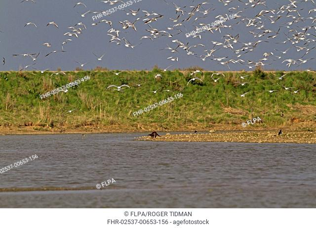 Black-headed Gull (Chroicocephalus ridibundus) flock, in flight, massed in response to presence of European Otter (Lutra lutra), Titchwell RSPB Reserve, Norfolk