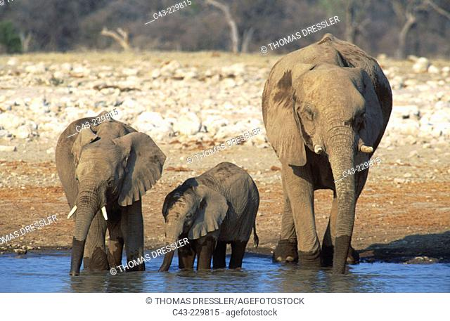 African Elephant (Loxodonta africana). One bull and  two calves in a waterhole. Ethosha National Park. Namibia