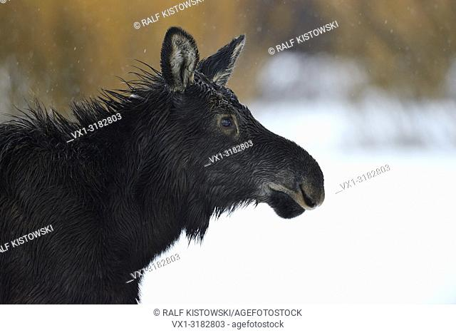 Moose ( Alces alces ), headshot of a young calf, juvenile, close-up on a rainy day in winter, Yellowstone area, Grand Teton NP, Wyoming, USA.
