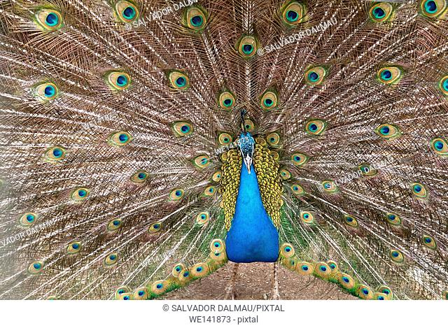 stately Peacock, Location in Manresa Farm, Barcelona, Catalonia, Spain, Europe