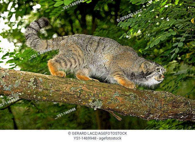 Manul or Pallas's Cat, otocolobus manul, Adult walking on branch