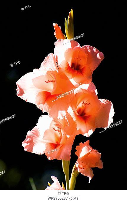 Gladiolus, a sword-leaved cymbidium (Gladiolus gandavensis Van Houtte Gladiolus)