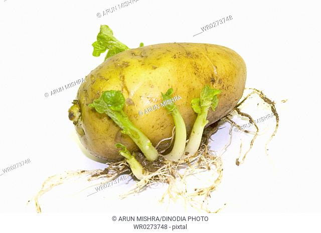 Vegetable , aloo or sprouted potato on white background