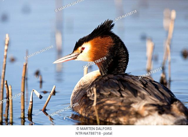 Great crested grebe in pond