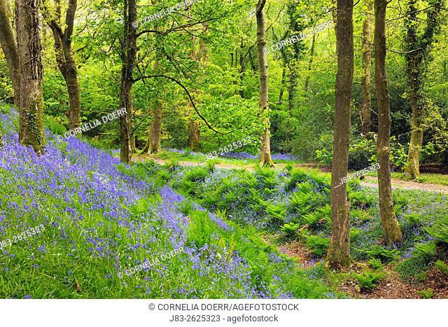 Carpet of Bluebells in Forest (Hyacinthoides non-scripta) in the spring, Seaton, Devon, England, Great Britan