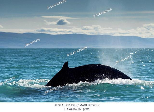 Diving, humpback whale (Megaptera novaeangliae), Eyjafjörður, Iceland