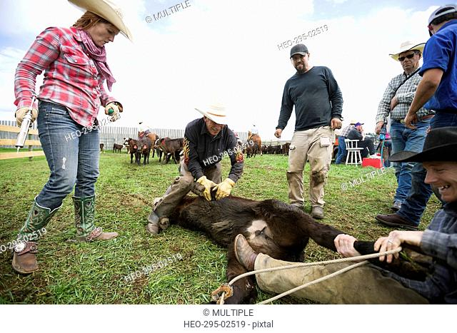 Cattle ranchers preparing to vaccinate cow