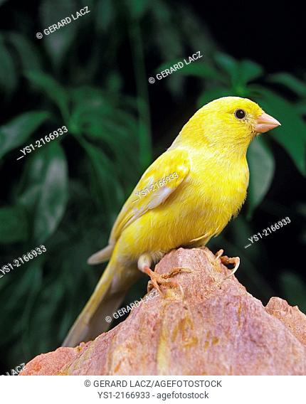 Malinois Canary or Song Canary, serinus canaria