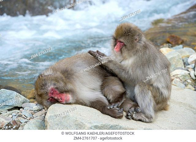 Snow monkeys (Japanese macaques) are sitting on rocks grooming each other at Jigokudani on Honshu Island, Japan