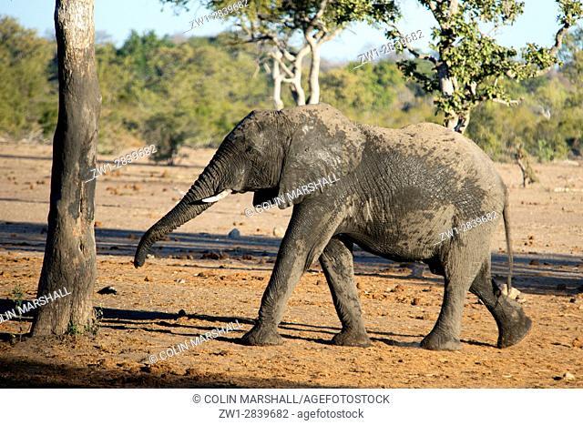 Elephant (Loxodonta africana) walking, Talamati Bushveld Camp, Kruger National Park, Transvaal, South Africa