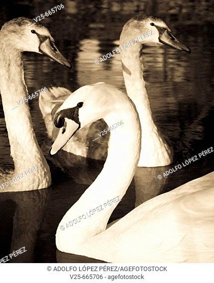 Swans. Spain